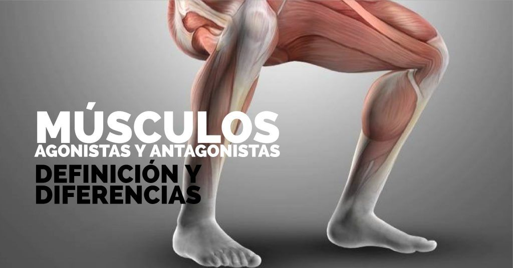 músculo AGONISTA ANTAGONISTA
