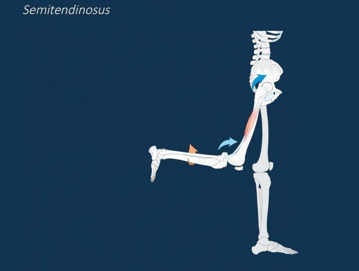 Músculo semitendinoso, un músculo vital para corredores | 21.42runners