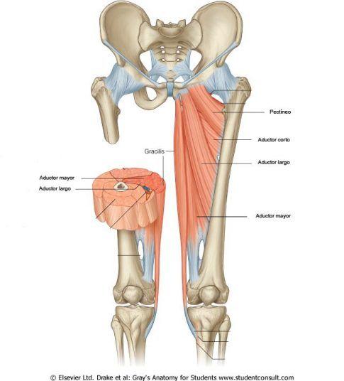Estos son los músculos aductores